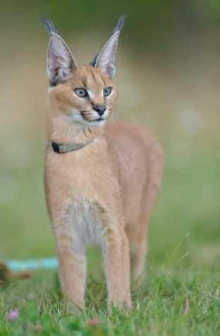 Zdarma cougar seznamka uk